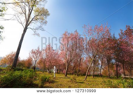 Morning Sunrise Branch With Pink Sakura Blossoms In Phu Lom Lo,loei Thailand