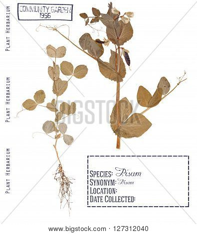 Herbarium of pressed parts of the plant peas. Leaves stem flower pods root isolated on white