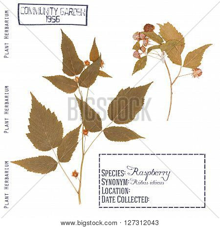 Herbarium of pressed parts raspberry plants. Leaves stem flowers and berries isolated on white