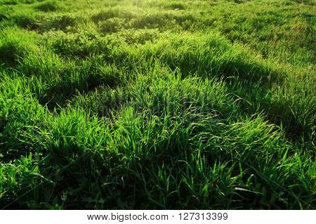 Background of fresh green grass backlit with the sunset sun. Selective focus, shallow depth of field. Summer background, grass at sunset, backlit.