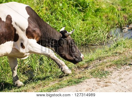 Cow grazing on a summer pasture. There is the half cow.