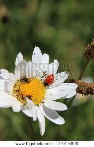 A lady bug on a large white daisy.