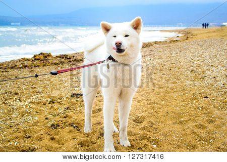 the Dog akita inu on the beach