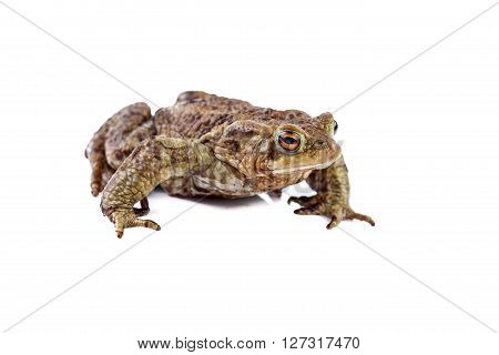 Frog or Common toad or european toad (Bufo bufo)