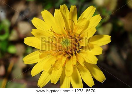 The yellow pigment extracted from Dandelion's petal is safe and nonpoisonous and also a natural pigment with certainnutritive value.