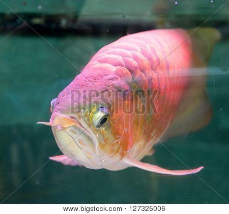 Asian arowana the dragon fish