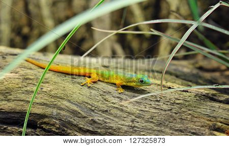 Cute Tiny Rainbow Lizard Gecko On A Log In Tall Grass