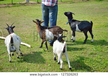 Goats Gathering Around Man On Green Grass