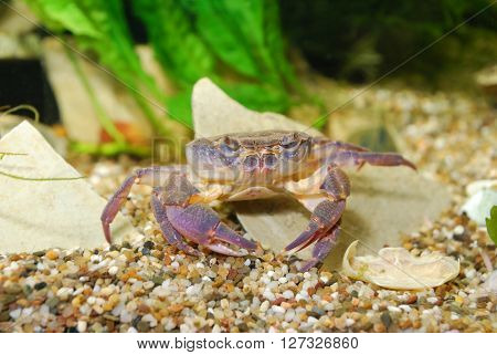 River Crab Potamon Sp. In Aquarium. Purple Morph