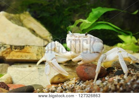River Crab Potamon Sp. Close-up In Natural Environment