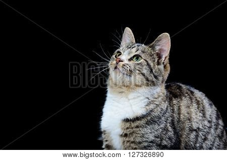 Cute Tabby Cat Isolated Over Black Background Looking Upwards. Grey Striped Cat With Green Eyes.