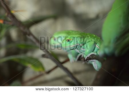 Waxy Monkey Leaf Frog (phyllomedusa Sauvagii) In Natural Rainforest Environment On A Branch. Colorfu