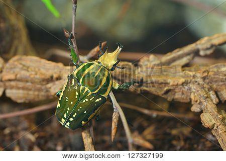Green Flower Beetle (chelorrhina Polyphemus Confluens) In Terrarium. Flower Chafer, Scarab.