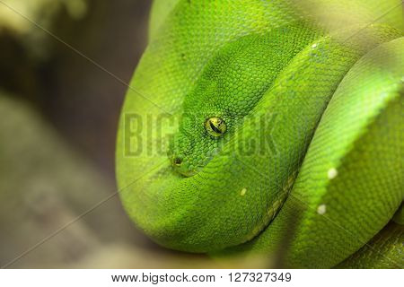 Green Tree Python Morelia Viridis. Young Green Snake Folded On A Stick.