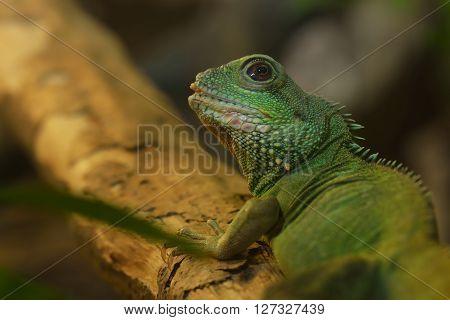 Asian Water Dragon (physignathus Cocincinus) In Natural Environment. Colourful Tropical Green Lizard