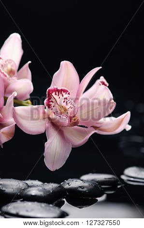 Two orchid with black stones on wet pebbles