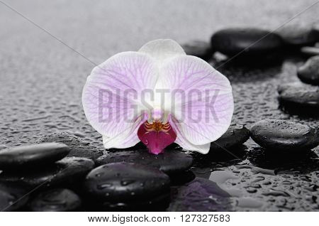 Macro of orchid on black stones â??wet background