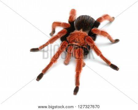 Birdeater Tarantula Spider Brachypelma Boehmei Isolated Over White. Bright Red Colourful Giant Arach