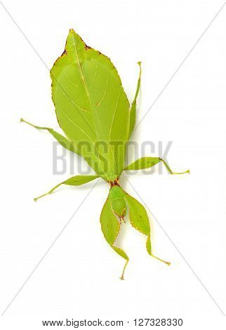 Green Leaflike Stick-insect Phyllium Giganteum Isolated Over White