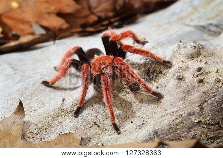 Birdeater Tarantula Spider Brachypelma Boehmei In Natural Forest Environment. Bright Red Colourful G