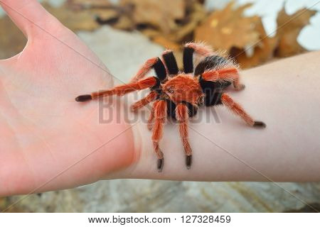 Birdeater Tarantula Spider Brachypelma Boehmei Held In Hand In Natural Forest Environment. Bright Re
