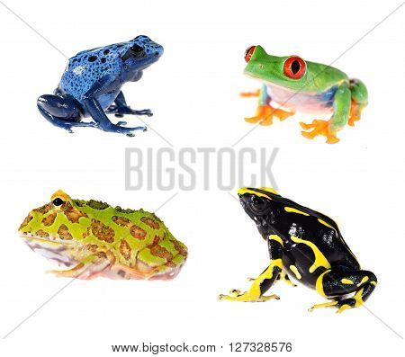 Red-eye Tree Frog  Agalychnis Callidryas, Ornate Horned Frog Ceratophrys Ornata And Blue Dyeing Dart