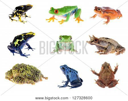 Frog Compilation. Red-eye Tree Frog, Blue Dyeing Dart Frog, The False Tomato Frog, The Long-nosed Ho