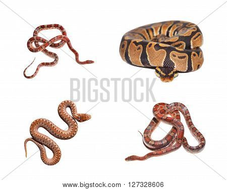 Royal Python Python Regius, Red Exotic Grass Snake And Common Viper Snake Isolated Over White