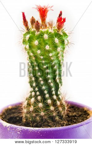 blooming cactus in the pot isolated on a white background