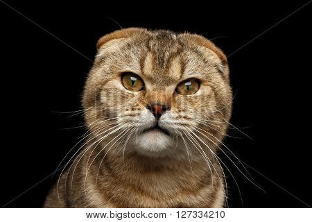 Closeup Portrait of Angry Scottish fold Cat with cunning eyes looks questioningly Isolated on Black Background
