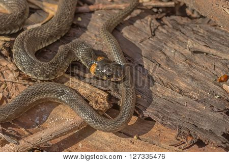 Grass snake living in the forest to meet on the trail