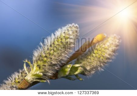 lush blooming delicate flowers branch of a willow in the spring, lush spring flowering willow fur seals