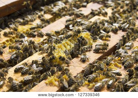 Bees on honeycomb framework honeycombs insects. Subject picture - beekeeping nature health ** Note: Shallow depth of field