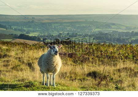 A lone sheep standing on moorland in North Yorkshire UK