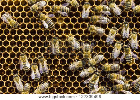 Bees on honeycomb framework honeycombs insects. Subject picture - beekeeping nature health