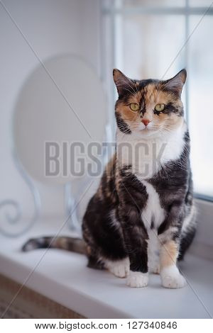 Domestic multi-colored cat sits at a window near a mirror.