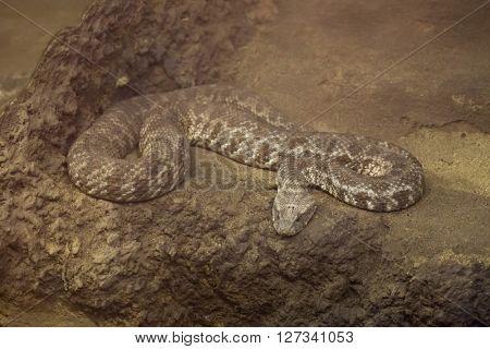 Blunt-nosed viper (Macrovipera lebetina). Wild life animal.