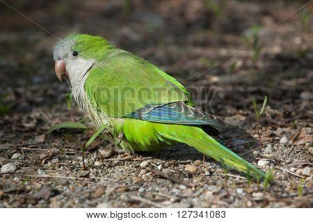 Monk parakeet (Myiopsitta monachus), also known as the quaker parrot. Wild life animal.