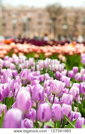 Pink Tulips On Beautiful Flowerbed In Spring In The City