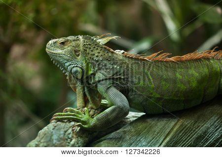Green iguana (Iguana iguana). Wild life animal.