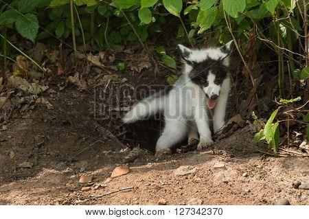 Marble Fox (Vulpes vulpes) Climbs out of Den - captive animal
