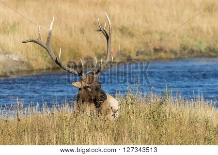 a bull elk bedded along a river in the rut