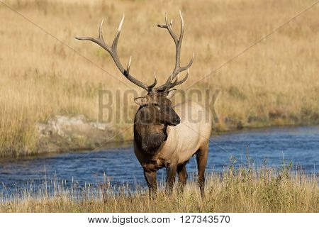 a bull elk along a river in the rut