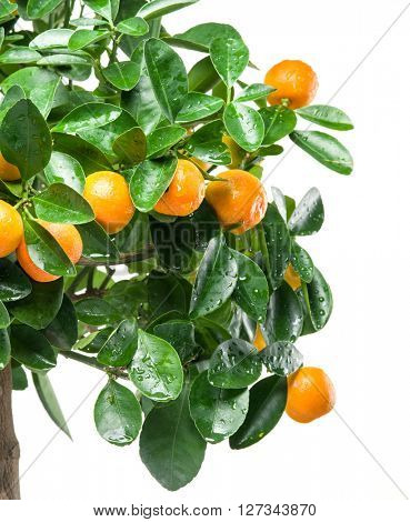 Ripe tangerine fruits on the tree. White background.