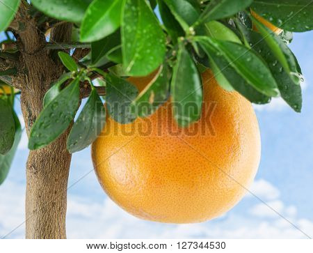 Big ripe grapefruit on the tree. Blue sky background.