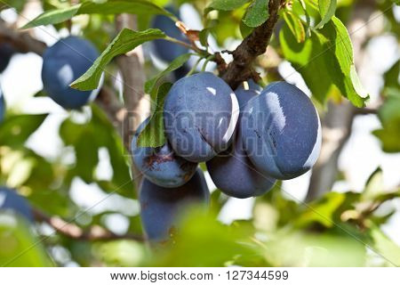 Plums on the tree in the garden. Fruit background.