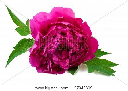 Pink peony flower isolted on white background