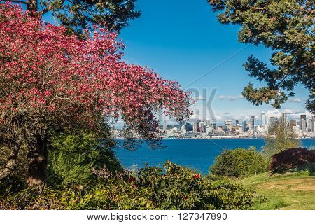 The Seattle skyline can be seen behind a red dogwood tree in West Seattle.