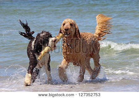 Two dogs playing with a stick at the beach