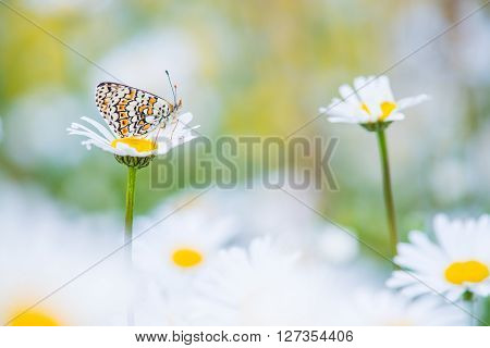 Pretty Glanville Fritillary butterfly resting in a field of daisies ** Note: Shallow depth of field
